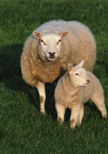sheep_lamb