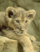 Linus the lion cub
